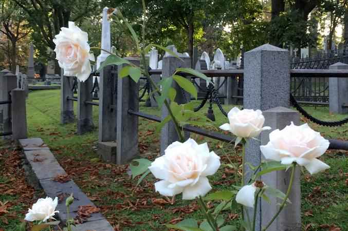 A few of the Heritage Roses at the Cemetery, blush colored